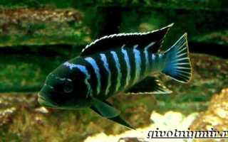 Демасони: описание, уход и размножение