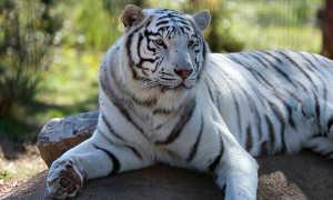 Характеристика мужчин, рожденных в год Тигра
