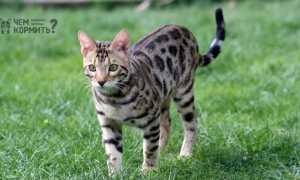 Чем кормить бенгальского котенка и взрослого кота?