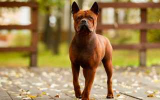 Собака чунцин: описание породы, кормление и уход