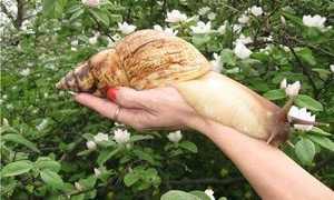 Ахатина иммакулята: подвиды и особенности содержания