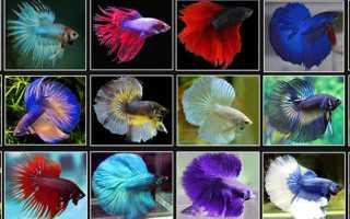 Виды рыб петушков