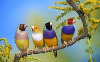Птицы амадины: виды и содержание в домашних условиях