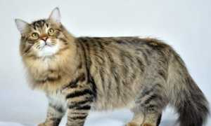 Русские кошки: описание, породы, выбор и нюансы ухода