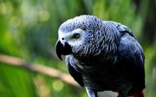 Сколько живут попугаи жако?