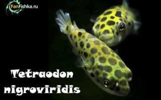 Тетрадоны (тетраодоны): виды и рекомендации по содержанию