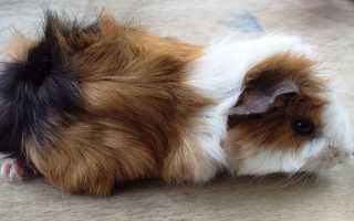Розеточные морские свинки: особенности породы и тонкости ухода