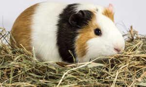 Выбираем сено и сенник для морских свинок