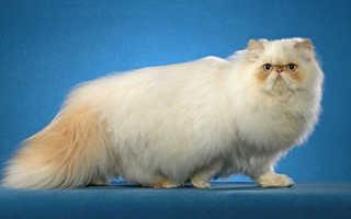 Гималайские кошки: характеристика, разновидности, выбор и правила ухода