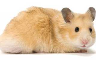 Домашние грызуны: описание, виды и правила содержания