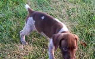 Купирование ушей и хвоста у собак: назначение, плюсы и минусы