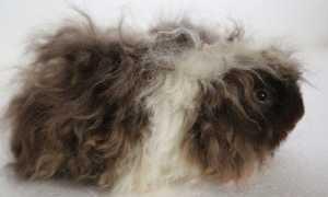 Морские свинки породы альпака: описание и тонкости ухода