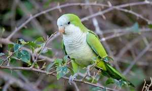 Особенности попугаев квакеров