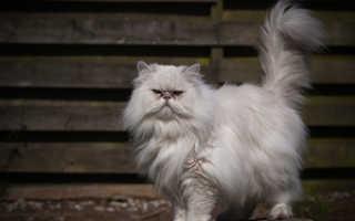 Рыжие персидские коты: характеристика и особенности ухода