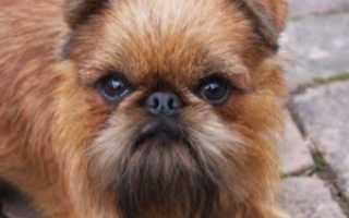 Гриффон: виды собак и их содержание