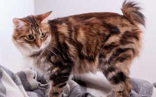 Описание и содержание кошек породы курильский бобтейл