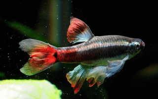 Кардинал: содержание аквариумной рыбы и уход за ней
