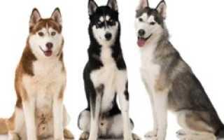 Окрасы собак породы хаски