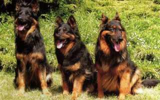 Ходские собаки: характеристика, выбор и содержание