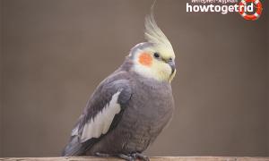 Как научить разговаривать попугая кореллу?