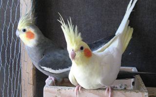 Интересные и красивые имена для попугая корелла
