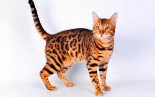 Как назвать бенгальского кота?