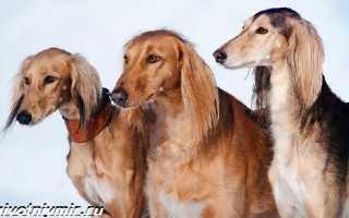 Салюки: характеристика породы собак, особенности ухода