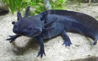 Тритон аквариумный: особенности, виды и содержание