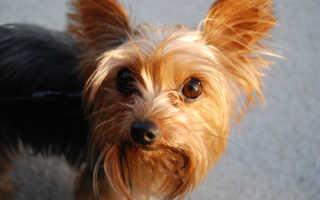 Как чистить уши собаке в домашних условиях?