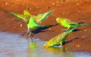 Все о зеленых попугаях