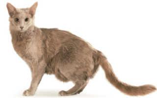 Яванская кошка: как выглядит и как за ней ухаживать?