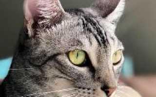 Происхождение, описание и содержание кошек породы египетская мау