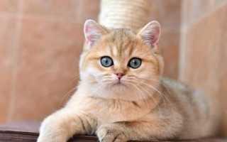 Золотая британская шиншилла: описание кошек, особенности характера и правила ухода
