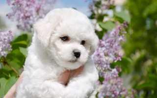Гипоаллергенные собаки: список популярных пород