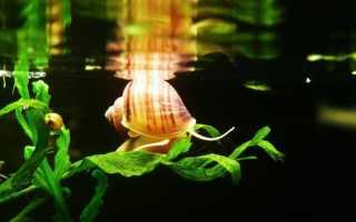 Ампулярии в аквариуме: пользу или вред они приносят?