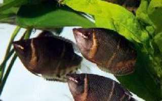 Шоколадный гурами: описание, уход, размножение