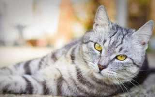 Британские полосатые кошки: как выглядят, как содержать и назвать?