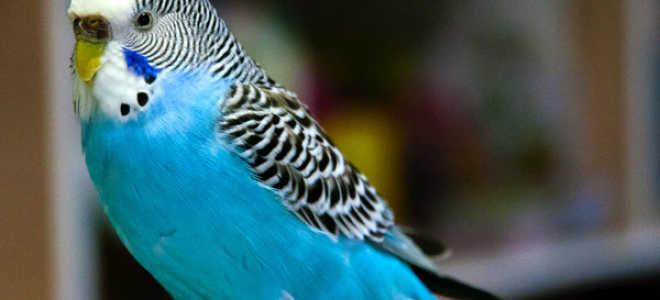 Как назвать попугая-девочку?