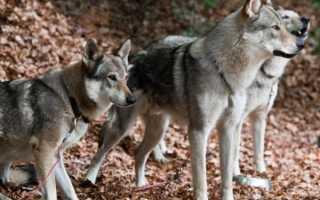 Северная инуитская собака: как выглядит и как за ней ухаживать?